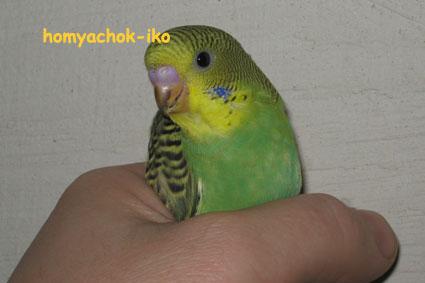 Вот так выглядит только вылетевший из гнезда попугайчик.