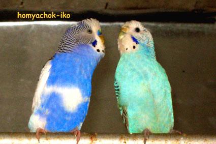Пара попугаев. Слева самец, токует. Справа самочка.