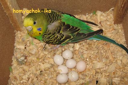 Гнездо с яйцами. 20.10.08