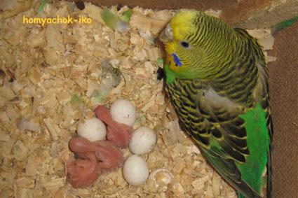 А вот первые птенчики! 27.10.08