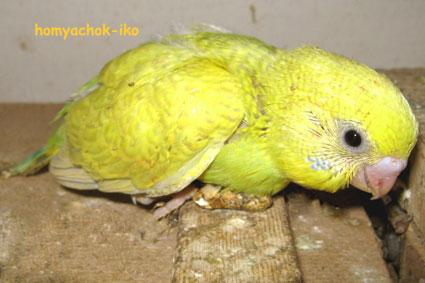 Любопытный попугайчик. Такая птичка еще сидит в гнезде.