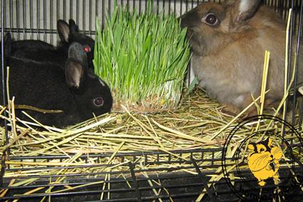 можно ли давать кроликам борьщевик как эффективный базовый
